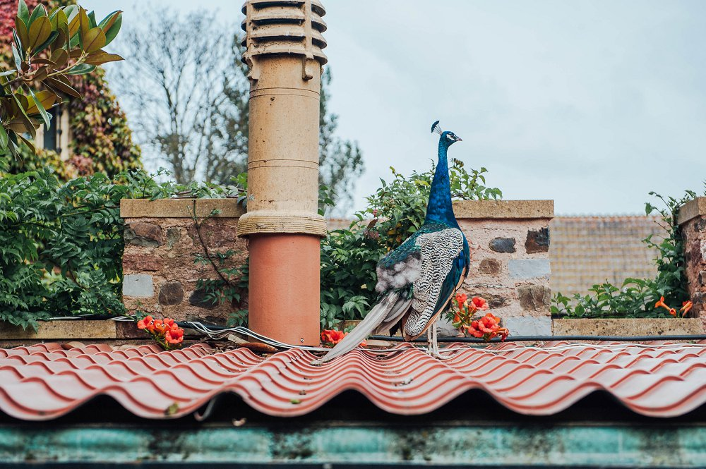 Maunsel House wedding day peacock photo