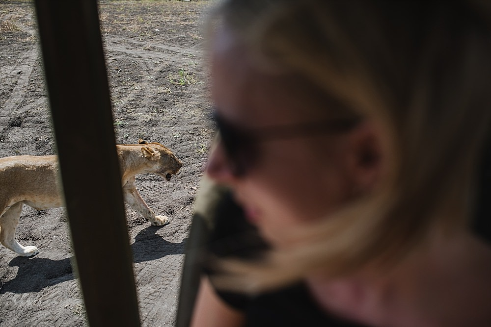 Personal photography blog safari jeep encounter with lioness