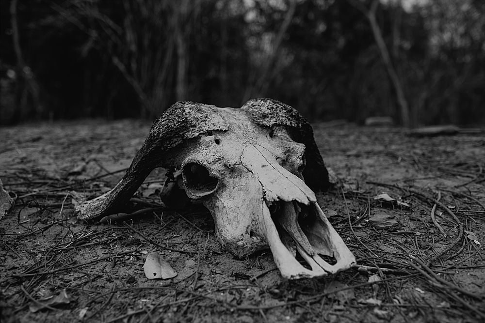 Personal photography buffalo skull