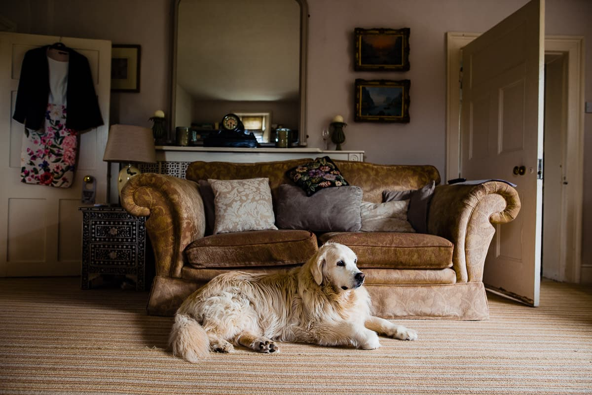Golden retriever dog relaxing in living room